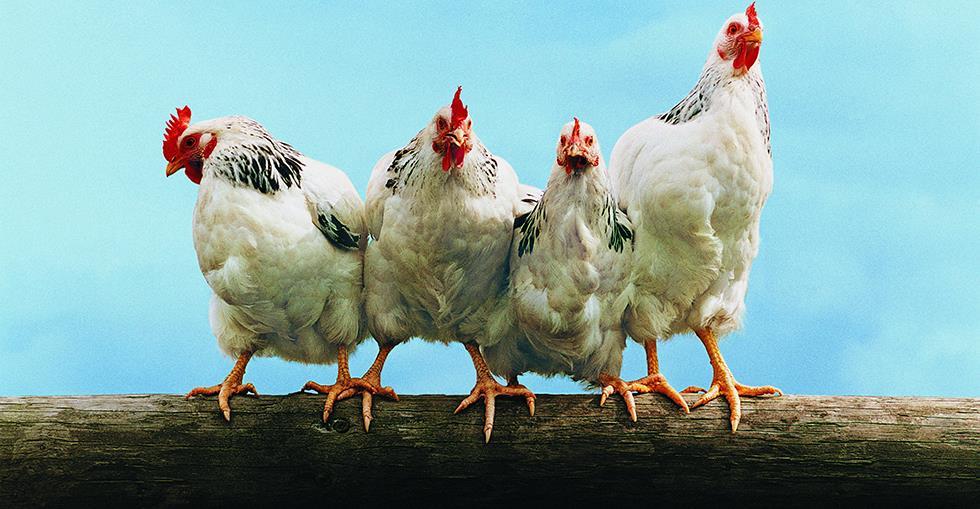 chickensheroimage